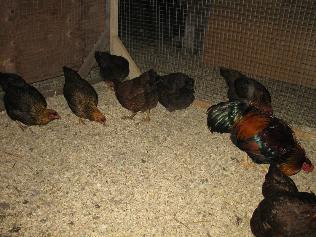 Skeffling Lavender Farms 2012 Partridge Chanteclers Breeding group 13 hens, 2 roosters
